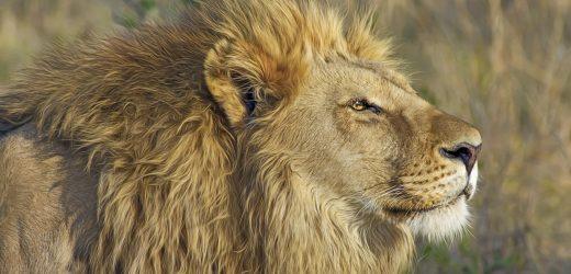 Pourquoi choisir des accessoires ou déco tête de lion?